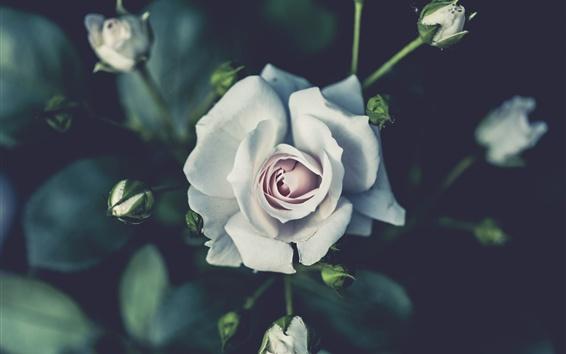 Обои Белая розовая фотография, почки, размытые