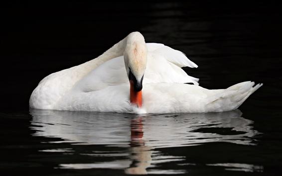 Wallpaper White swan, water, animal photography