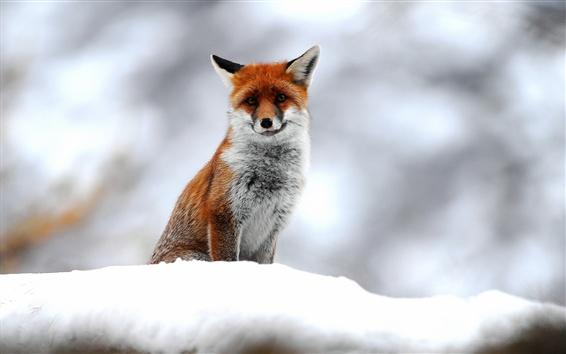 Wallpaper Wildlife, fox, snow, winter