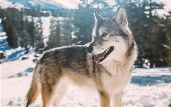 Wallpaper Wolf look back, snow, winter