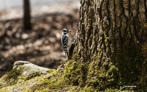 Wallpaper Woodpecker, tree, moss