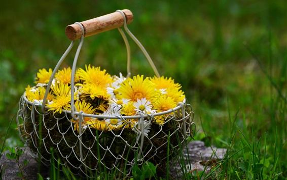 Fondos de pantalla Camomila amarilla y blanca, cesta, hierba