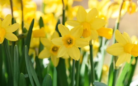 Fondos de pantalla Amarillo narciso close-up fotografía