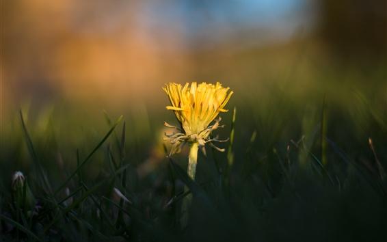 Papéis de Parede Flor amarela de dente-de-leão, grama, borrada