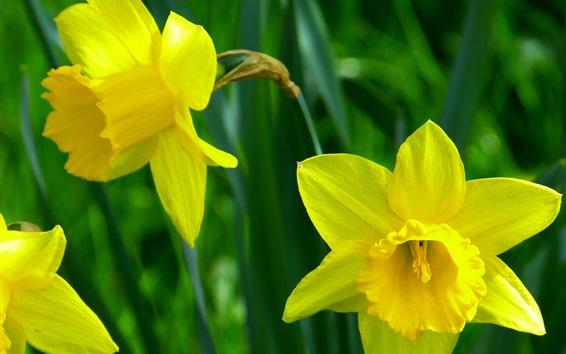 Papéis de Parede Flores amarelas, narciso, pétalas