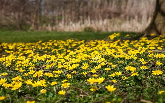 Fond d'écran Fleurs sauvages jaunes, printemps