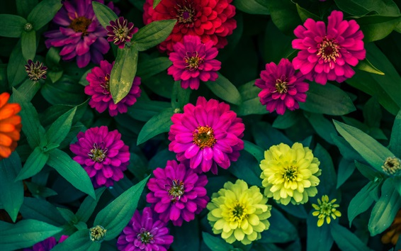Wallpaper Zinnias flowers, yellow, pink, red