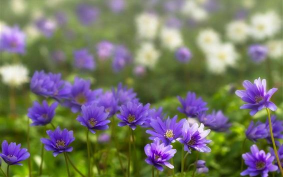 Papéis de Parede Anêmona, flores azuis, pétalas