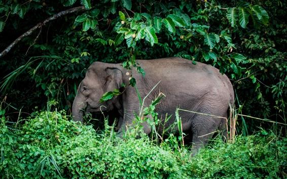Papéis de Parede Animais, elefantes, árvores, capim