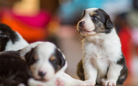 Wallpaper Australian shepherd, two puppies