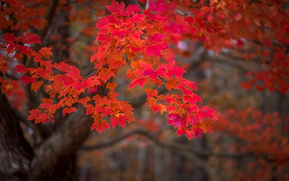 Wallpaper Autumn, red maple leaves, nature scenery
