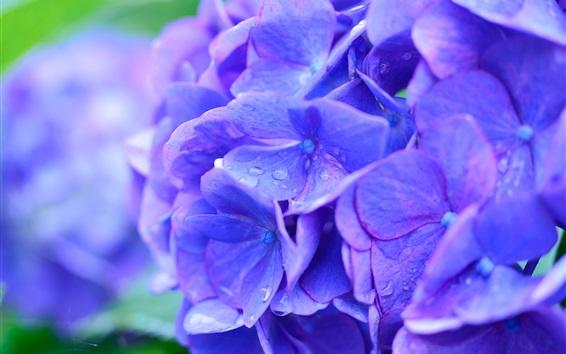 Wallpaper Beautiful blue hydrangea flowers macro photography, dew