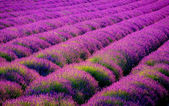 Wallpaper Beautiful lavender flowers field