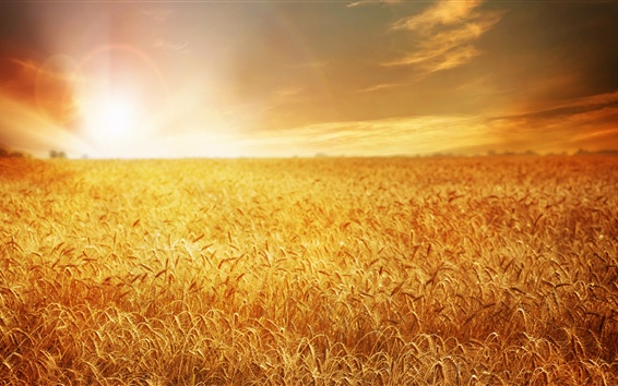Wallpaper Field 4k Hd Wallpaper Wheat Spikes Sky: Hermoso Campo De Trigo, De Oro, Puesta De Sol Fondos De