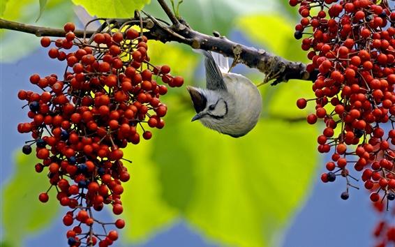 Papéis de Parede Pássaro quer comer bagas