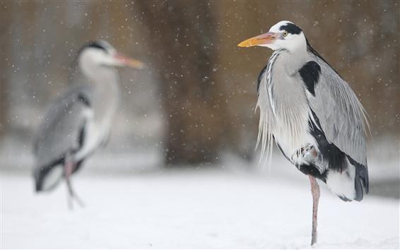 Wallpaper Birds in winter, heron, snow