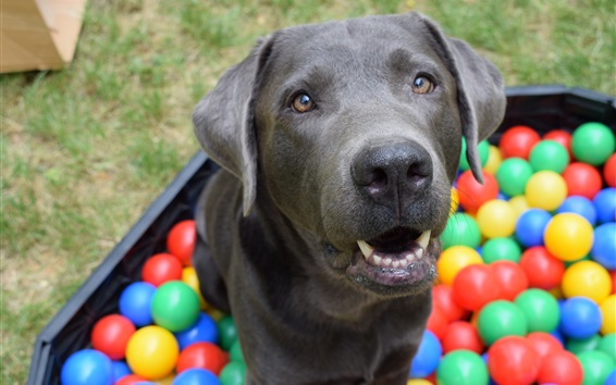 Wallpaper Black dog, colorful balls