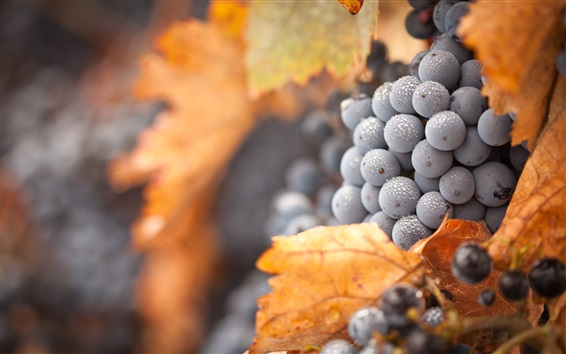 Wallpaper Black grapes, water drops, yellow leaves, autumn