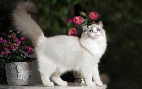 Papéis de Parede Olhos azuis gatinho, branco, cauda