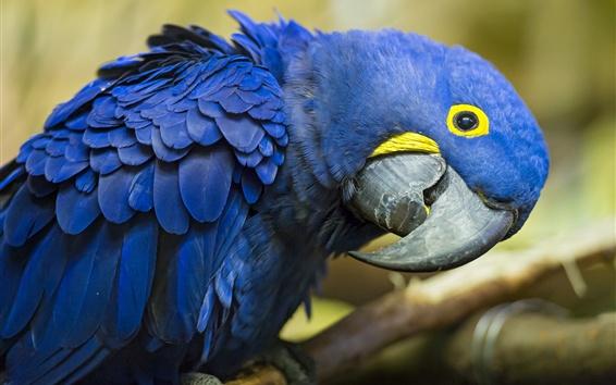 Wallpaper Blue parrot look at you, beak