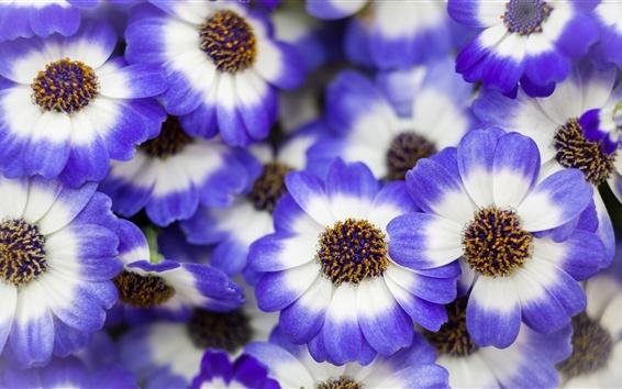 Wallpaper Blue white petals flowers, spring