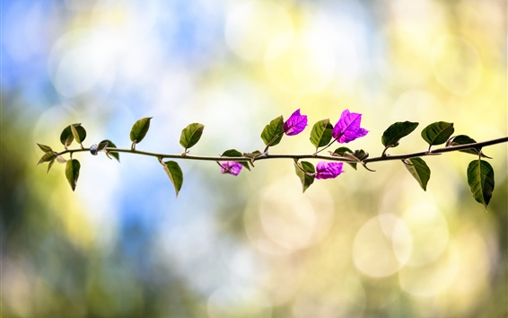Wallpaper Bougainvillea, pink flowers, twigs, bokeh