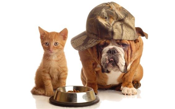 Обои Кошка и собака, шляпа, смешной, белый фон