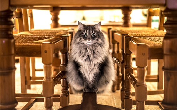 Wallpaper Cat look, front view, furry