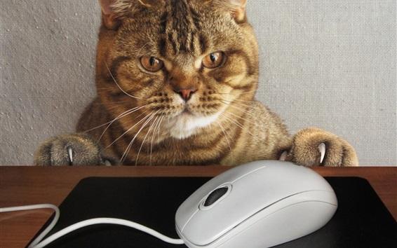 Papéis de Parede Gato quer jogar mouse, imagem engraçada