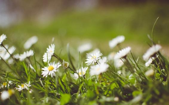 Wallpaper Chamomile, white petals, blurry