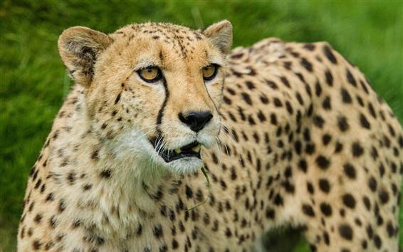 Papéis de Parede Cheetah, olhar, gato grande