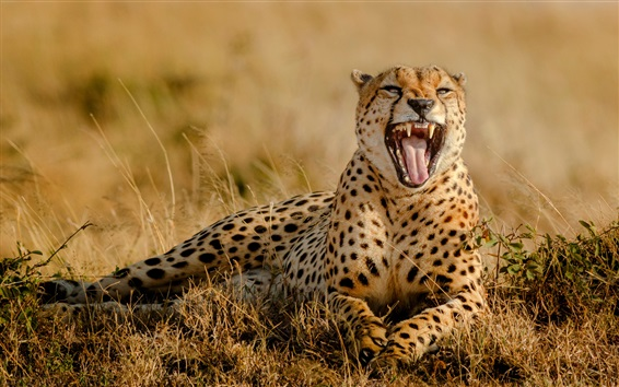 Wallpaper Cheetah yawn, mouth, tooth, grass, Africa