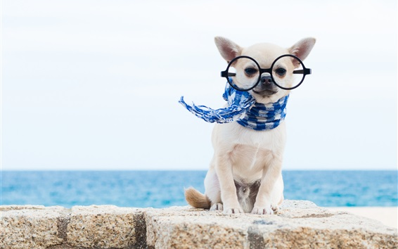 Wallpaper Chihuahua dog, scarf, glasses, funny animals