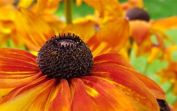 壁紙 コーンフラワー、オレンジ色の花のクローズアップ、雌しべ