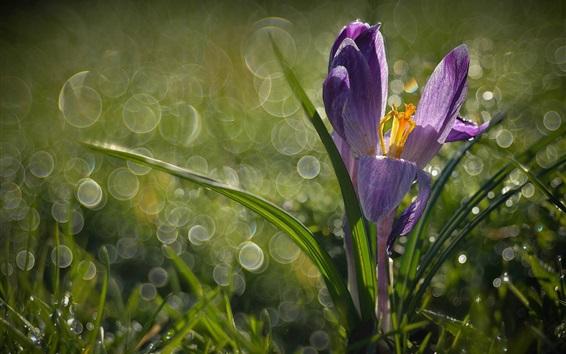Fond d'écran Crocus, herbe, printemps