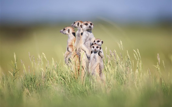 Wallpaper Cute meerkats stand in grass, family