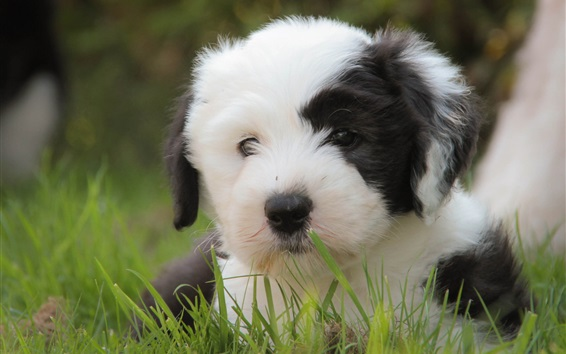 Wallpaper Cute Puppy White And Black Grass 1920x1200 Hd Picture Image