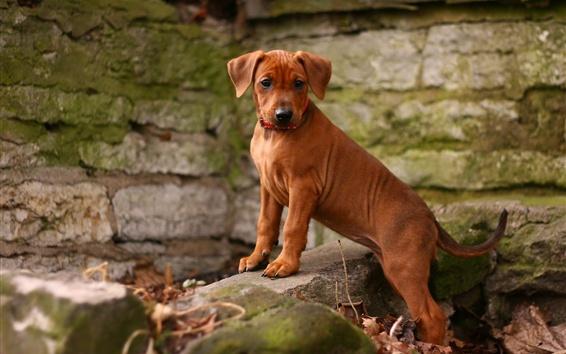 壁纸 狗,棕色的小狗