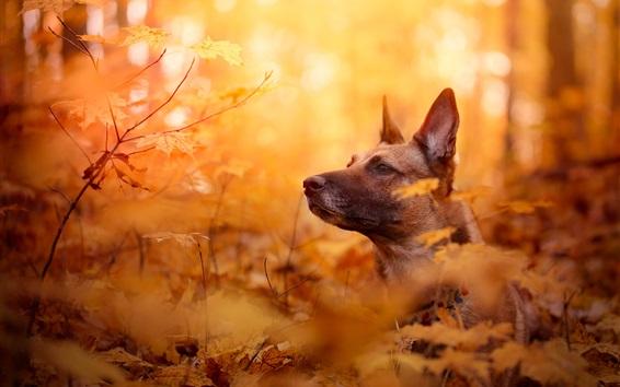 Papéis de Parede Cão, rosto, outono, folhas vermelhas