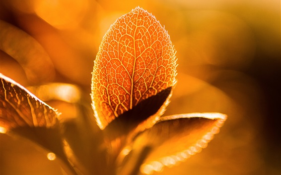 Wallpaper Foliage macro photography, sunshine, backlight