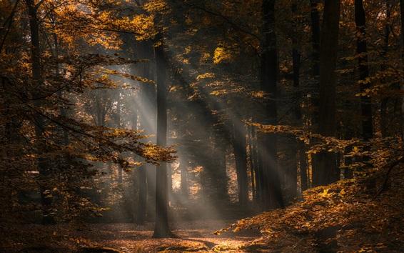 Wallpaper Forest, trees, autumn, sun rays