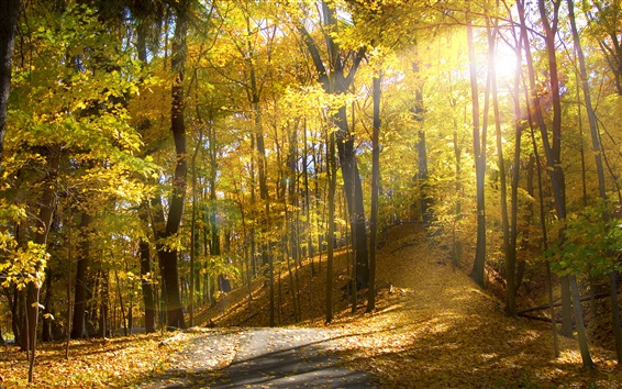 Wallpaper Forest, trees, path, yellow leaves, sunshine, autumn