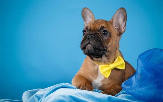 Wallpaper French bulldog, blue background