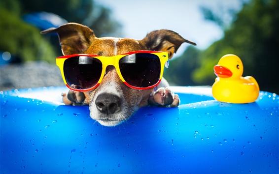 Papéis de Parede Cachorros engraçados, óculos de sol, cara, brinquedo de pato