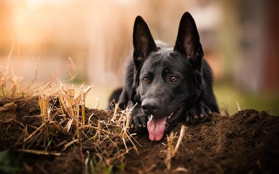 Wallpaper German shepherd, black dog front view