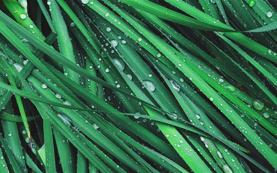 Papéis de Parede Grama, folhas verdes, orvalho, gotas de água