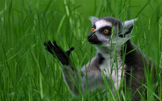Wallpaper Grass, lemur