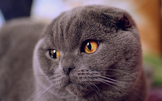 Papéis de Parede Grey fold cat face view, yellow eyes