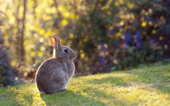 壁紙 グレーウサギ、ウサギ、草、日差し