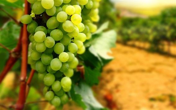 Fond d'écran Céréales vertes, fruits, récolte